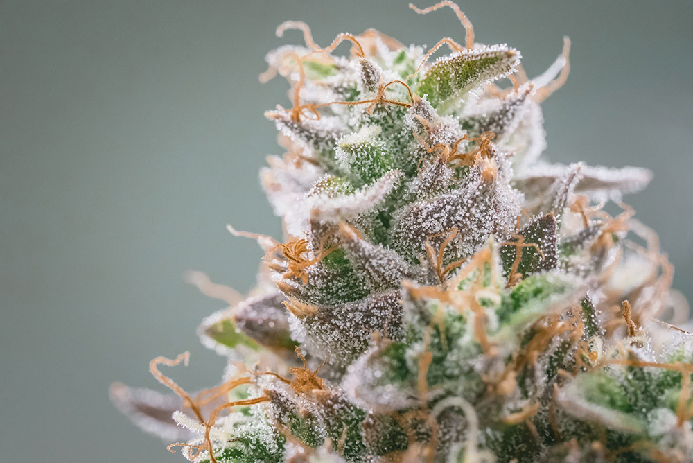close-up-of-colorful-nitro-cookie-bud-covered-in-trichomes-on-grey-background