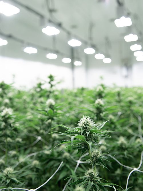 green-canopy-of-cannabis-plants-in-grow-facility