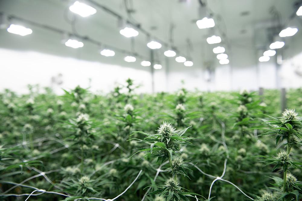 Top 4 Canadian Cannabis Micro Cultivators