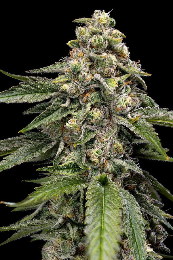 live orange tingz strain cannabis plant on black background