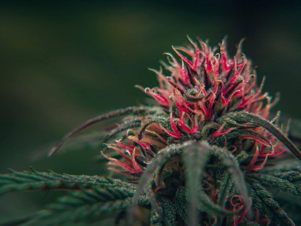macro shot of verdant green cannabis flower with bright reddish pink pistils