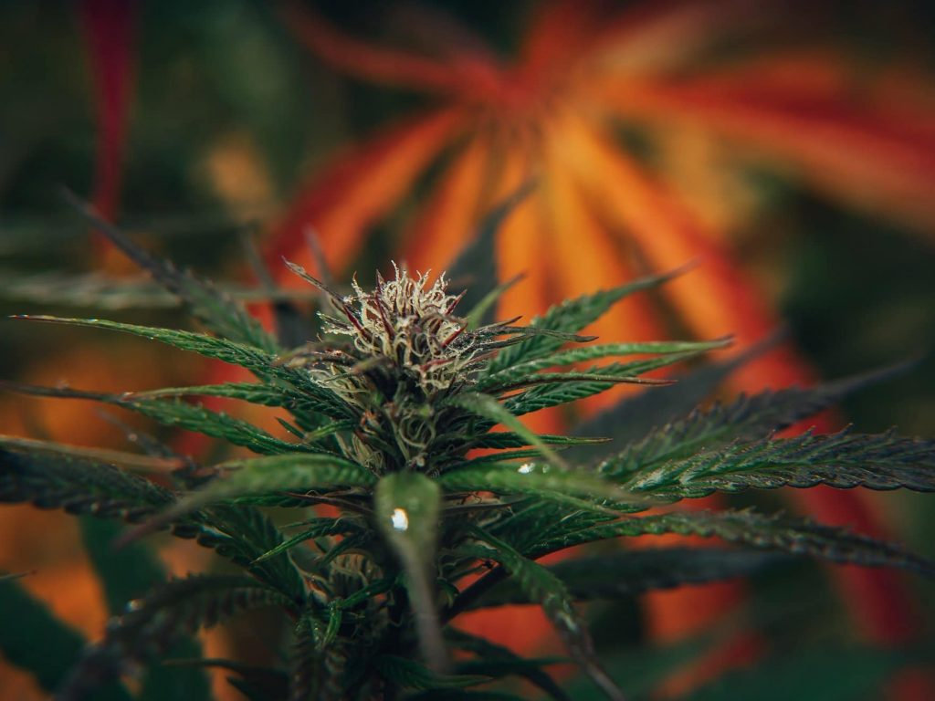 green outdoor cannabis plant in foreground and bright orange fan leaves in background
