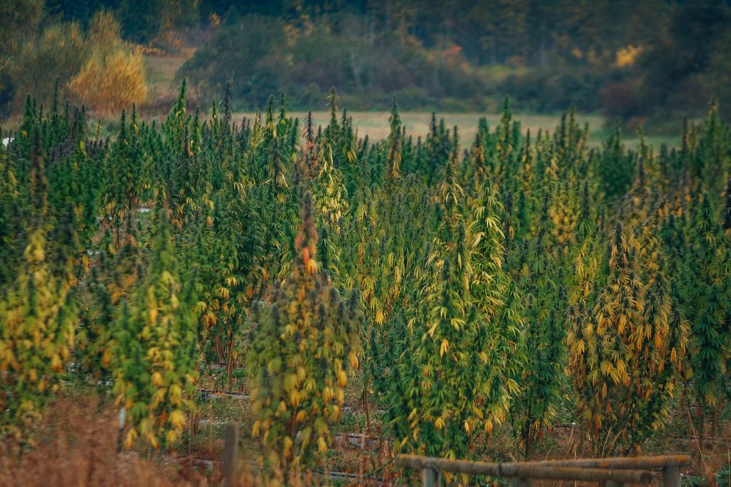 outdoor cbd hemp field in fall with green and yellow and orange leaves