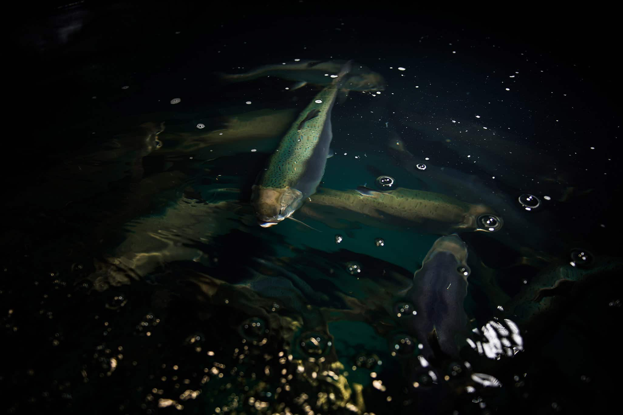 group of blue coloured coho salmon swimming in aquaponics water tank