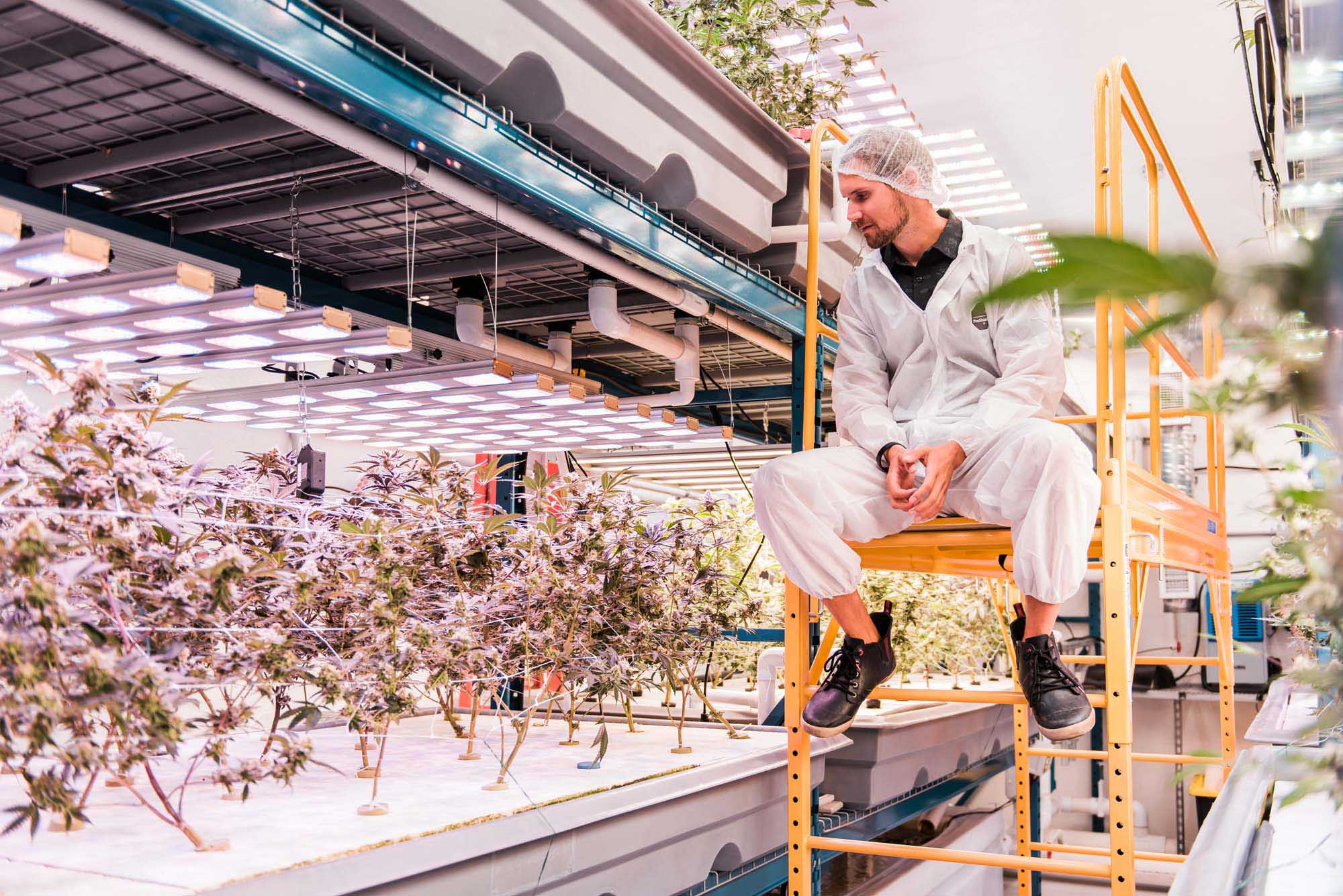 man sitting on scaffolding looking at rows of cannabis plants in hydroponic grow facility