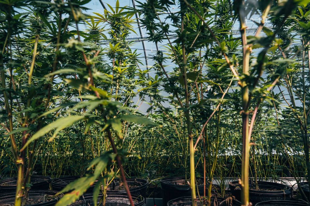 rows off cannabis plants in greenhouse