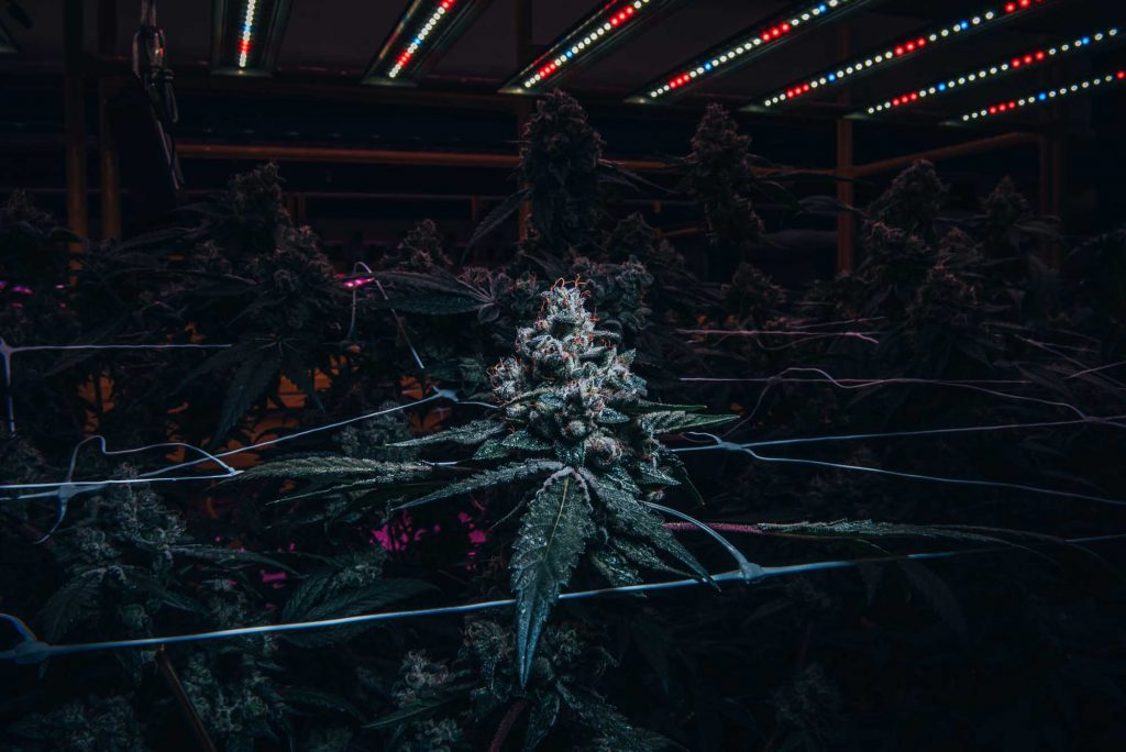 flowering cannabis canopy through white nets underneath blue white and red led lights