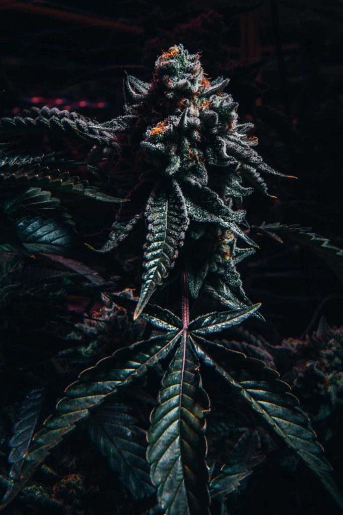 cannabis plant with dark green leaves and large cola