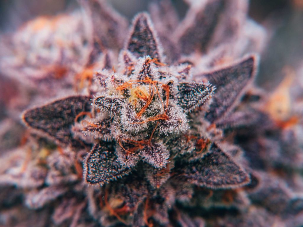 top down macro close up of cannabis flower with white clear trichomes