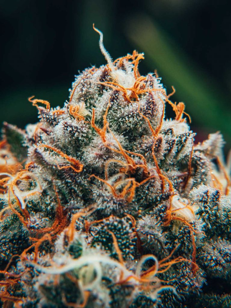 macro close up of cannabis bud with orange hairs and white trichomes