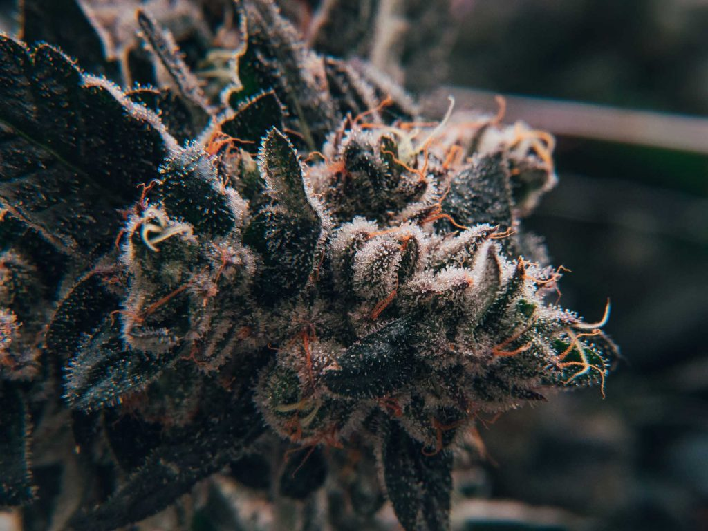 macro close up of cannabis flower with sugar leaves covered in trichomes