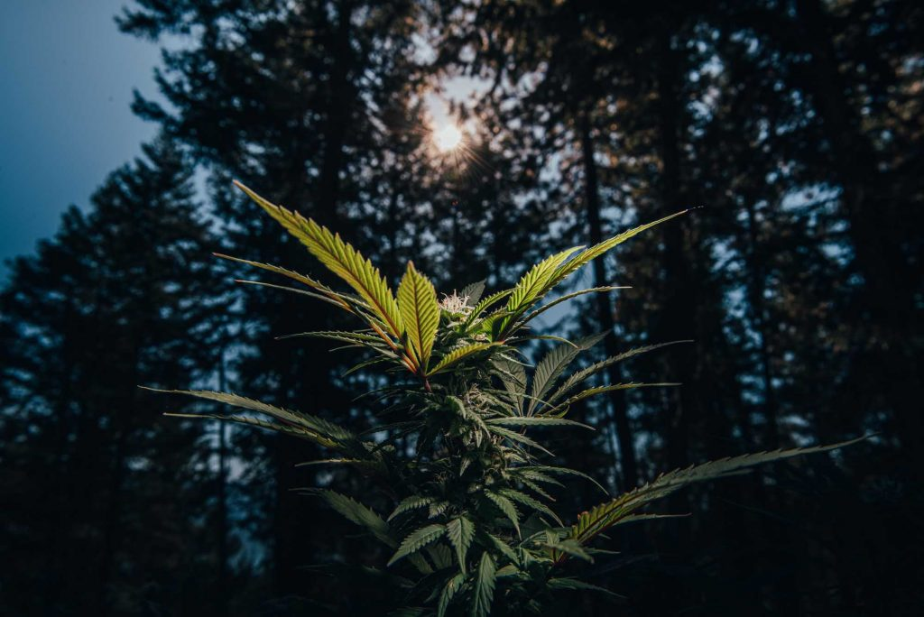 cannabis plant in foreground with sun and pine trees in background